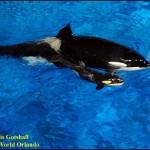 Killer whale birth at SeaWorld Orlando October 9 2010 Katina is mom B
