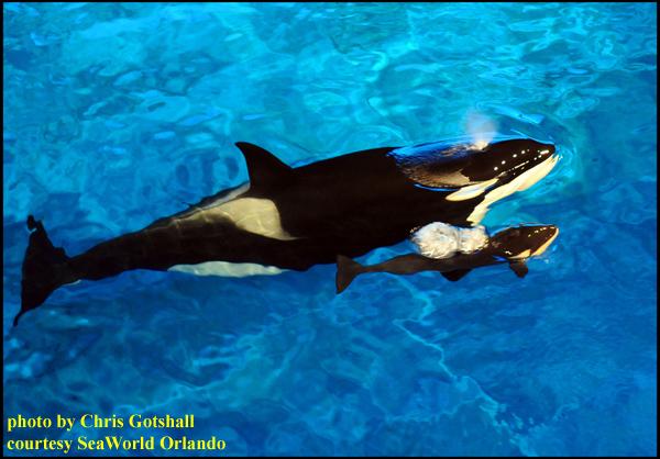 Video: New Killer Whale Born At SeaWorld Orlando