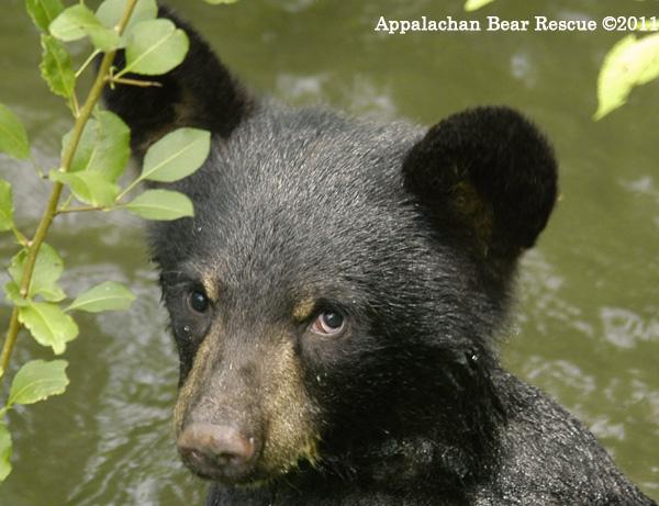 Black Bear Cub in Water