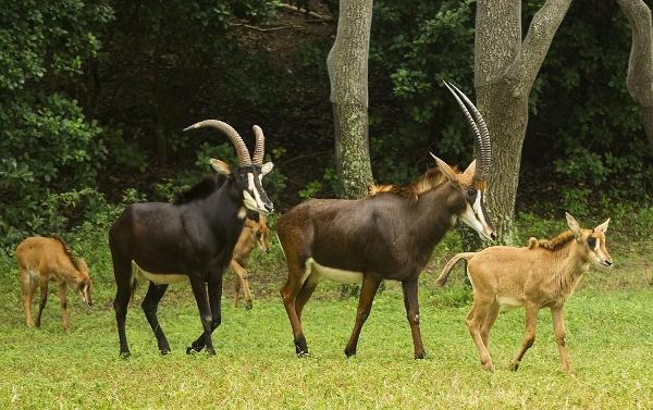 Sable Antelope Calves (600×377)