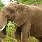 elephant (600x401)
