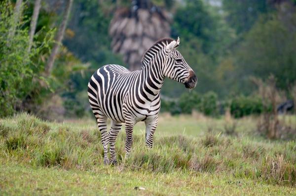 zebra (600×397)